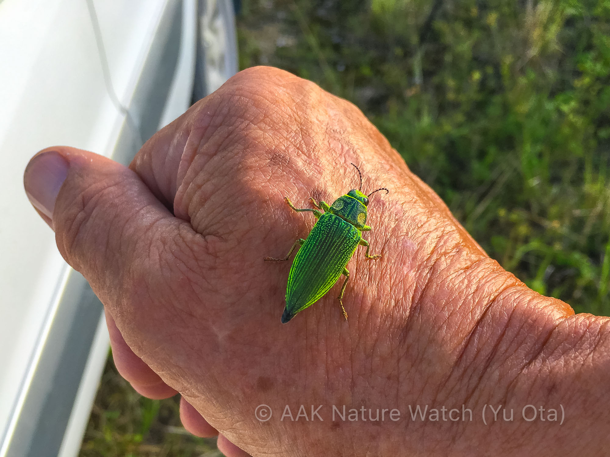 Christmas_Island_Jewel_Beetle