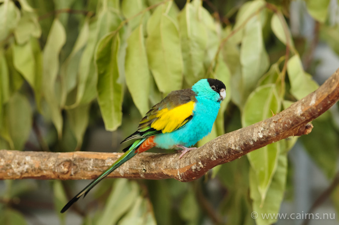 Hooded_Parrot_male
