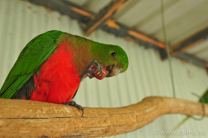 King_Parrot_female