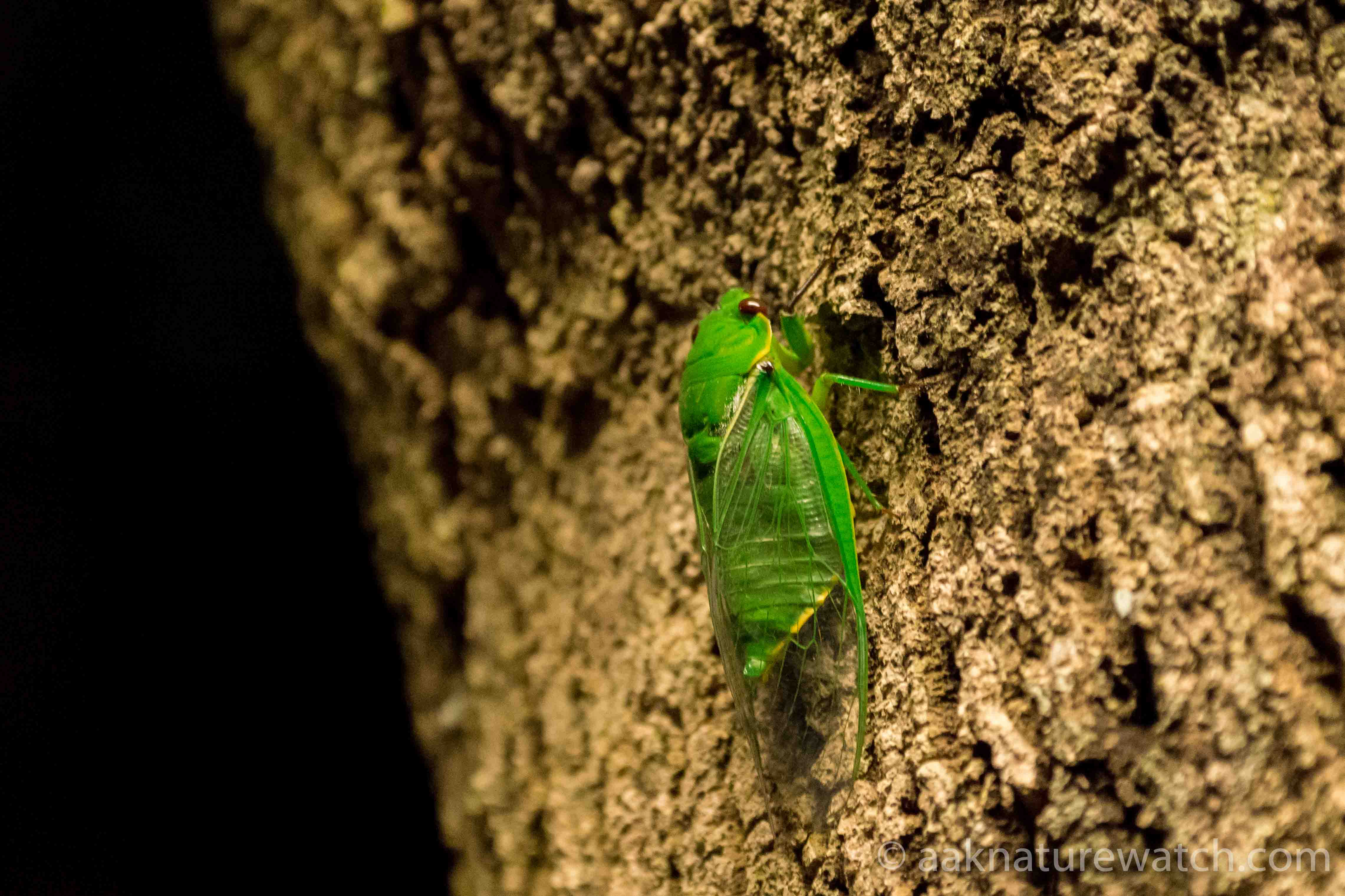 Northern-green-glocer-cicadar