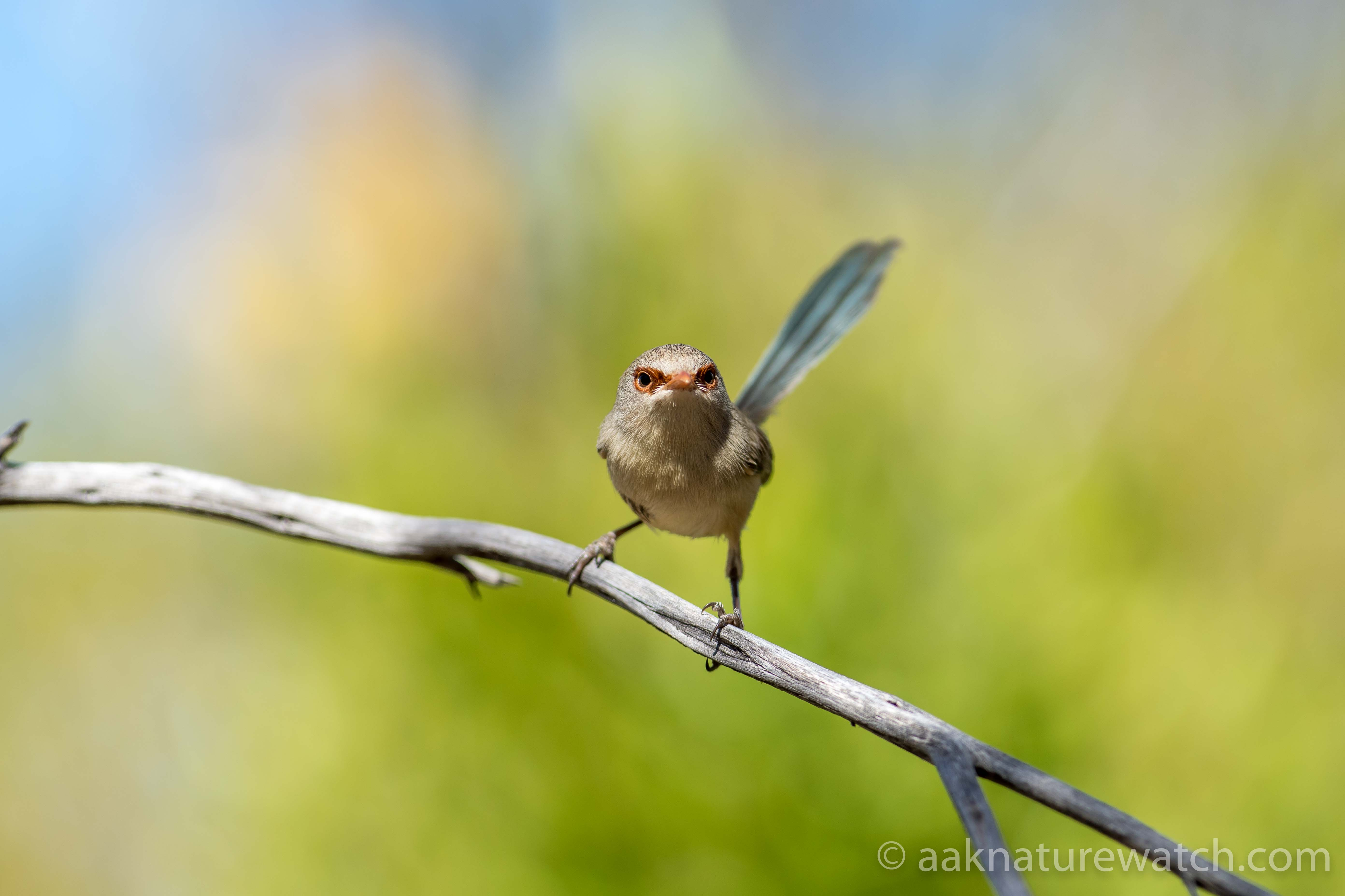 Purple-backed_Fairy-wren_female