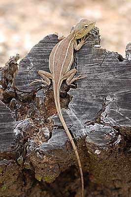 Two-lined Dragon (Diporiphora bilineata)